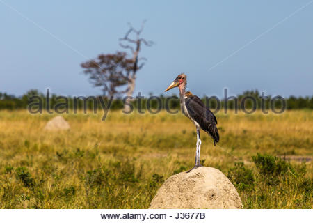A Maribou Stork standing on a termite mound in the Chobe National Park. - Stock Photo