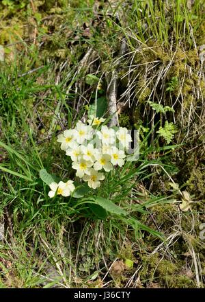 Primula vulgaris growing wild on a hillside in Scotland, UK, Europe - Stock Photo