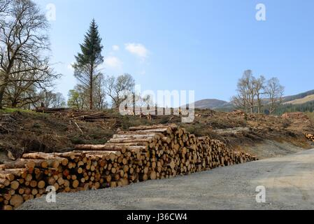 Forestry commission cut timber stacked and awaiting transportation - Stock Photo