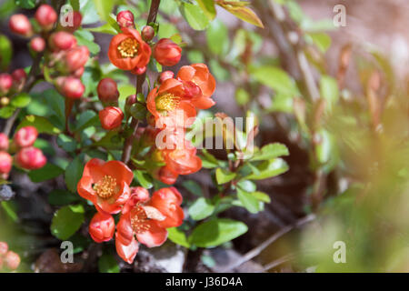 Beautiful flowering Japanese cherry Sakura. Background with flowers closeup on a spring day. - Stock Photo