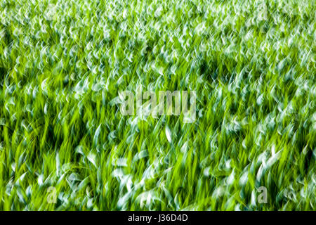 Abstract lines and structures in green grass, closeup, with a blurred wipe effect - Stock Photo