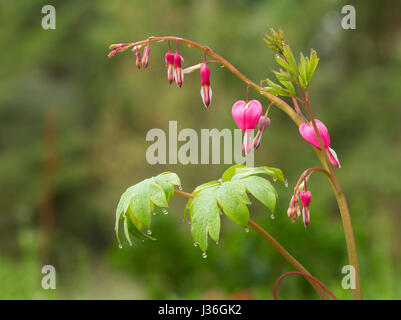 Lamprocapnos spectabilis (formerly Dicentra spectabilis) 'Bleeding Heart' with flower buds and heart-shaped blooms - Stock Photo