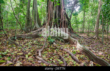 A giant tree with buttress roots in the forest, Costa Rica - Stock Photo