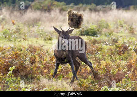 Boisterous Red Deer (Cervus elaphus) yearling or buck tossing a ball of grass in the air with antlers - Stock Photo