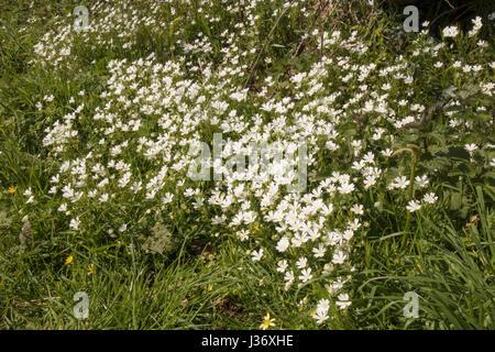 Patch of Lesser Stitchwort, Stellaria graminea - Stock Photo