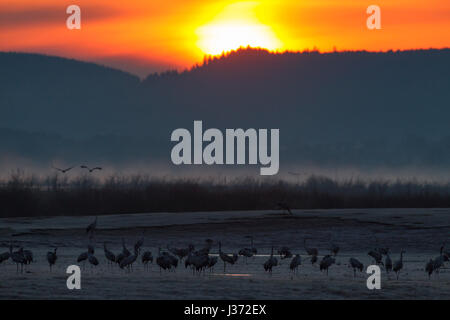Common Crane / Eurasian Cranes (Grus grus) flock fying in at dawn to rest at lake Hornborga / Hornborgasjön in spring, - Stock Photo