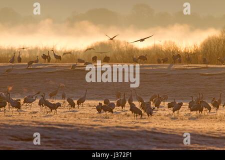 Common Crane / Eurasian Cranes (Grus grus) flock fying in at dawn to rest at lake Hornborga / Hornborgasjön in spring, Västergötland, Sweden