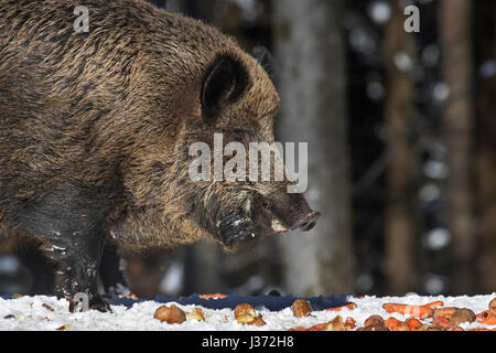 Wild boar (Sus scrofa) eating potatoes and carrots at feeding station in forest in the snow in winter - Stock Photo