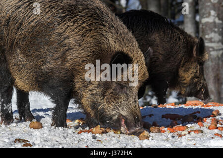 Wild boars (Sus scrofa) eating potatoes and carrots at feeding station in forest in the snow in winter - Stock Photo