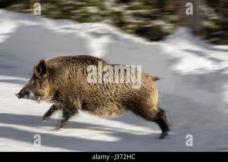 Wild boar (Sus scrofa) crossing forest road in the snow in winter. Motion blur - Stock Photo