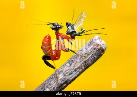 orchid mantis level 1 nymph. feeding on long leg fly. praying mantis, Hymenopus coronatus. - Stock Photo