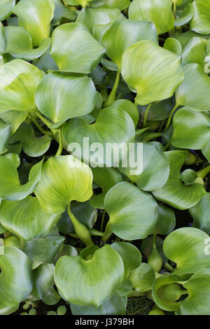 Eichhornia crassipes. Water hyacinth leaves - Stock Photo