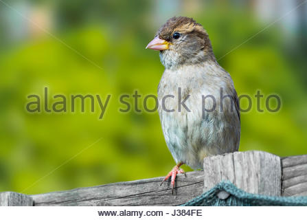 House Sparrow. Juvenile House Sparrow (Passer domesticus) perched on a fence in Spring in West Sussex, England, - Stock Photo