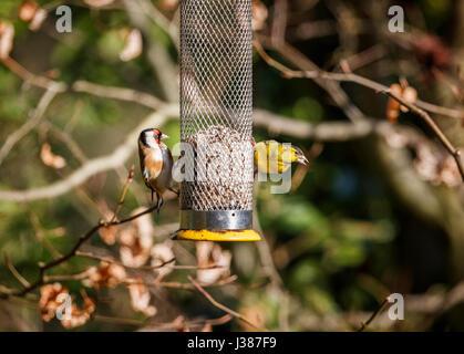 Eurasian siskin (Carduelis spinus) and European goldfinch (Carduelis carduelis) feeding on sunflower hearts from - Stock Photo