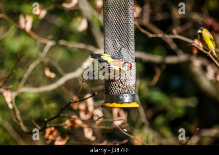 Small European goldfinch (Carduelis carduelis) feeding at a bird feeder shows its wings as a Eurasian siskin (Carduelis - Stock Photo