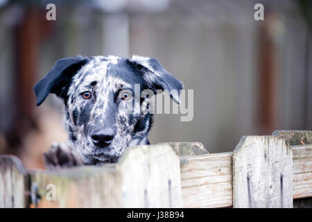 Spotted simple yard dog actively protects its territory and the home of the owners of the intruders and robbers - Stock Photo