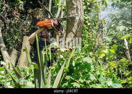 A tree surgeon lopping off branches of a sycamore tree Arboriculturist Climbing Safety harness Rope Ropes Roped - Stock Photo