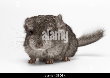 Gray Baby Chinchilla on white  - Stock Photo