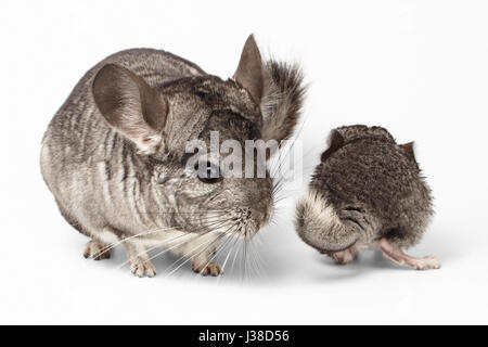 Big and Little Chinchilla on white - Stock Photo