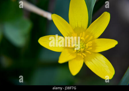 Buttercup Ficaria verna or lesser celandine grows at spring closeup - Stock Photo
