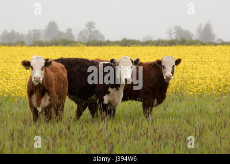 Three cows in a field in front of yellow turnip blossoms. - Stock Photo