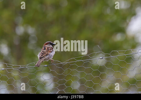 House sparrow perched on chicken wire fence - Stock Photo