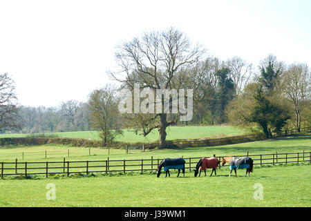 Three horses in paddock, wooden fences, trees in background - Stock Photo