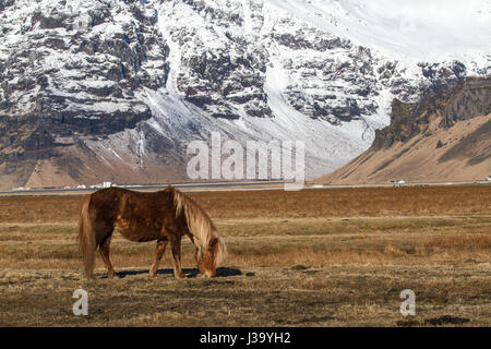 Icelandic horse in a field in Icdeland, grazing - Stock Photo