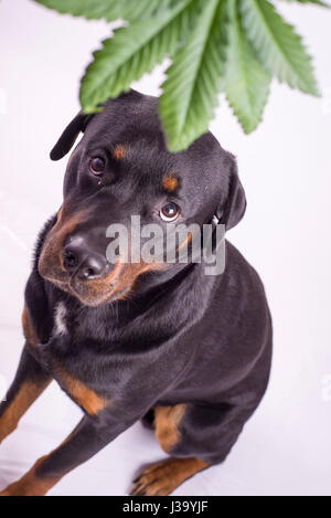 Detail of cannabis leaf and rottweiler dog isolated over white - medical marijuana for pets concept - Stock Photo