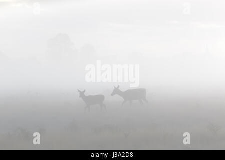 Red Deer (Cervus elaphus) hind mother and young calf roaming in the morning mist or fog - Stock Photo
