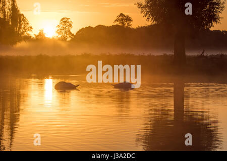 Pair of Mute Swans (Cygnus olor) sleeping in golden light peaceful pond at sunrise Stock Photo