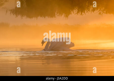 Single Mute Swan (Cynus olor) in golden light pond at sunrise - Stock Photo