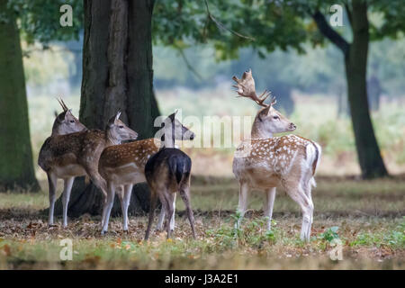Group of four Fallow deer (Dama dama) startled by something on the edge of woodland copse - Stock Photo
