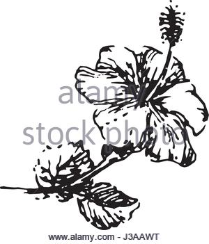 Hibiscus Tropical Flower Illustration