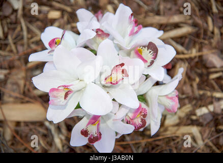 Delicate white flower blossoms with pink and yellow growing in garden in Manning Park in Hamilton Hill, Western - Stock Photo