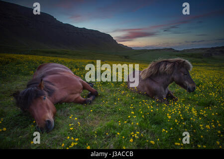 Two icelandic horses relaxing in a field of flowers - Stock Photo