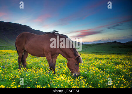 Icelandic horse grazing in a field of flowers - Stock Photo