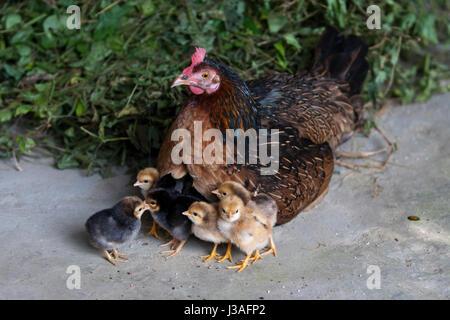 Mother hen with her babies at Kaliganj. Gazipur, Bangladesh. - Stock Photo