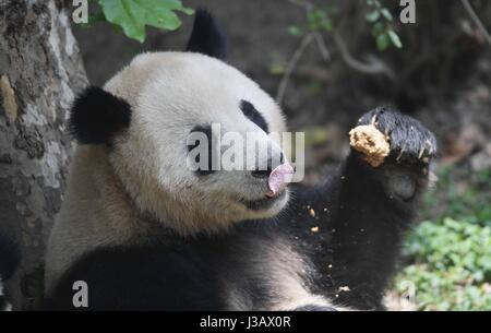 Chengdu, China's Sichuan Province. 4th May, 2017. Giant panda He Xing feeds himself at the Chengdu Research Base - Stock Photo