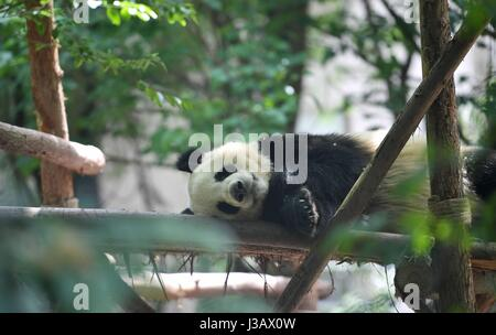 Chengdu. 4th May, 2017. Photo taken on May 4, 2017 shows giant panda He Xing at the Chengdu Research Base of Giant - Stock Photo