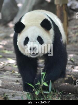 Chengdu. 4th May, 2017. Photo taken on May 4, 2017 shows giant panda Mao Er at the Chengdu Research Base of Giant - Stock Photo