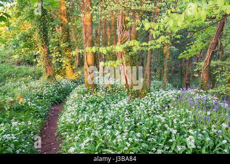 Wild garlic and bluebells in woodland near Camborne in Cornwall - Stock Photo