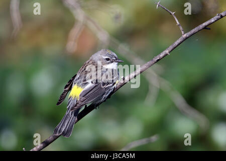A Yellow-rumped Warbler (Setophaga coronata), perched on a twig at Camp Chowenwaw Park in Green Cove Springs, Florida. - Stock Photo