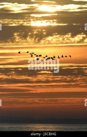 Oystercatchers at sunset - Haematopus ostralegus - Stock Photo