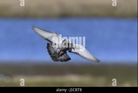 Feral Pigeon - Columba livia - Stock Photo