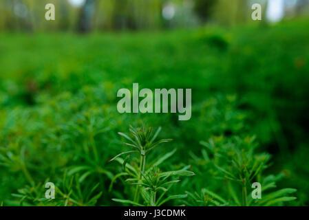 American common ragweed, Ambrosia artemisiifolia, causing allergy - Stock Photo