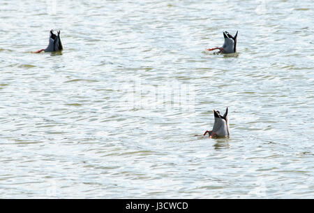Three mallard ducks diving for food - Stock Photo