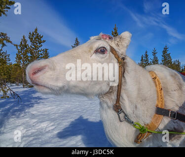 Reindeer Sledding, Swedish Lapland - Stock Photo