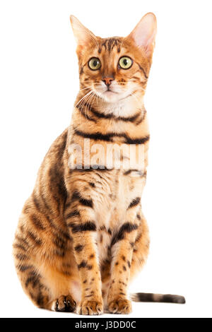 Beautiful adult female Bengal cat sitting down portrait isolated on white background  Model Release: No.  Property - Stock Photo