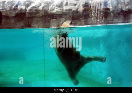 SINGAPORE. 2016. Tropical polar bear - Stock Photo